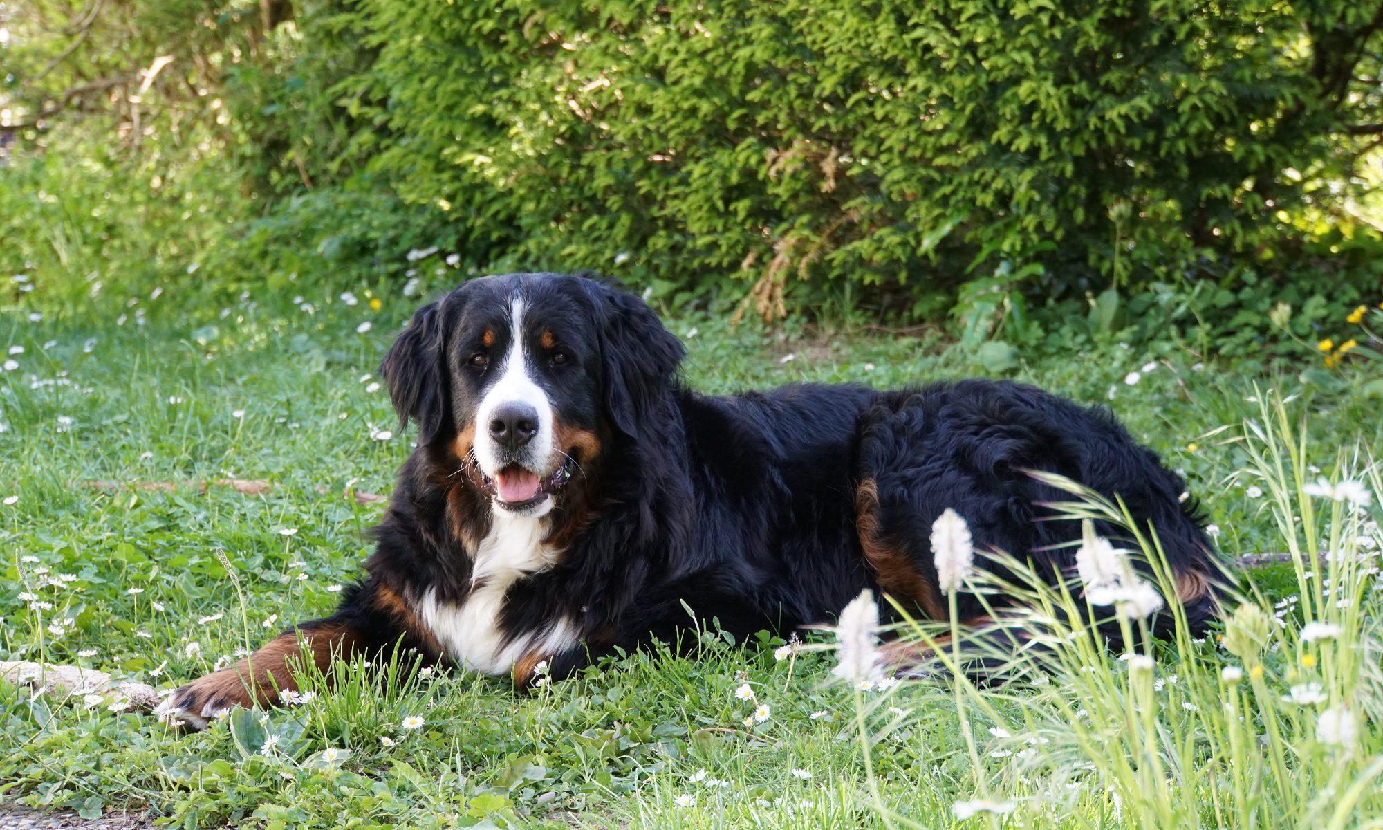 Sennenhunde vom Regnitzgrund